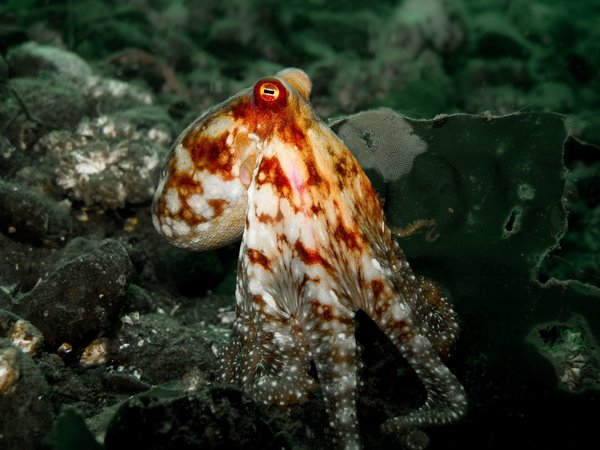 A small octopus.