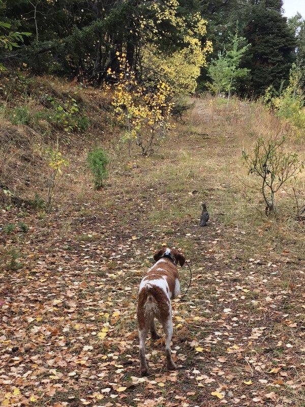 One of the author's pointer dogs points to a bird in the wilderness.