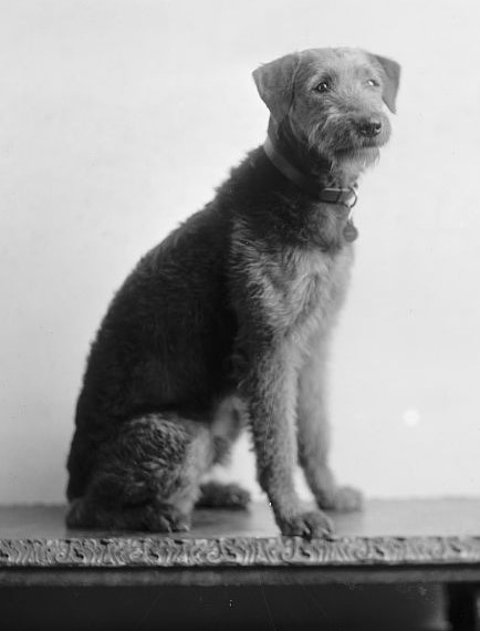 President and First Lady Harding's Airedale Terrier, Laddie Boy. Public Domain image via Wikimedia Commons.